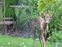 An enquisitive deer who visits us regularly.